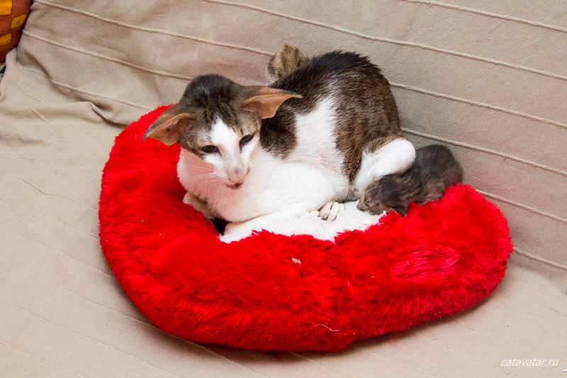 Кошка таскает котят. Питомник ориентальных кошек в Москве. Купить котёнка.Истории и фотографии о жизни кошек.