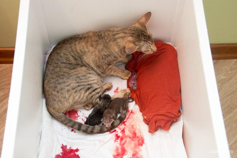 Как в домашних условиях помочь разродиться кошки 146