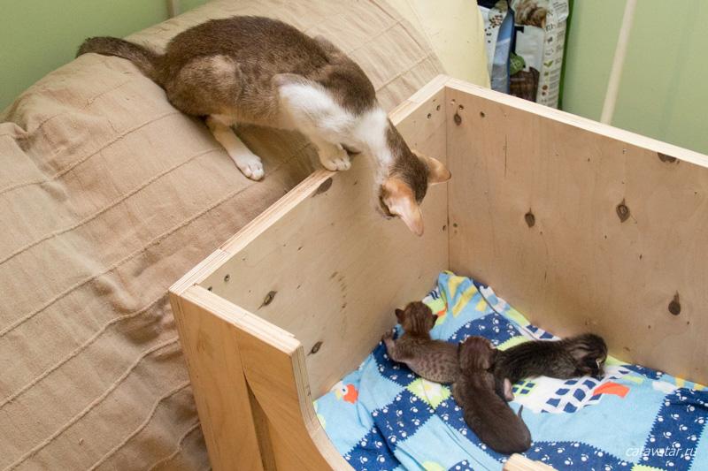 Ориентальная кошка и ориентальные котята. Питомник ориентальных кошек в Москве. Купить котёнка. Истории и фотографии о жизни кошек.