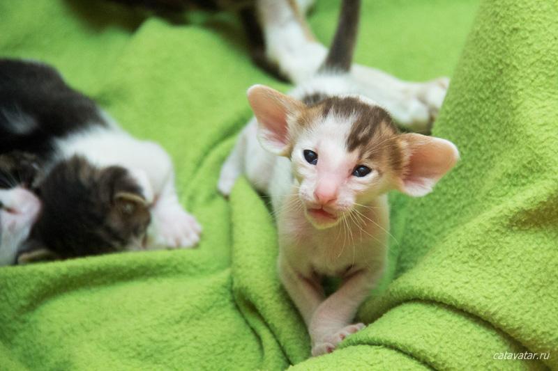 Ориентальные котята играют. Питомник ориентальных кошек в Москве. Купить котёнка.Истории и фотографии о жизни кошек.