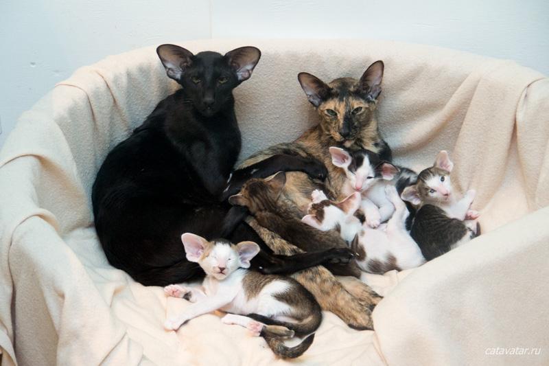 Ориентальные котята с разными кошками матерями. Питомник ориентальных кошек в Москве. Купить котёнка.Истории и фотографии о жизни кошек.