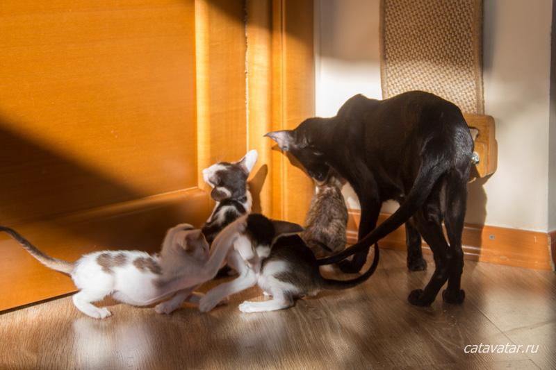Питомник ориентальных кошек в Москве. Купить котёнка.Истории и фотографии о жизни кошек.
