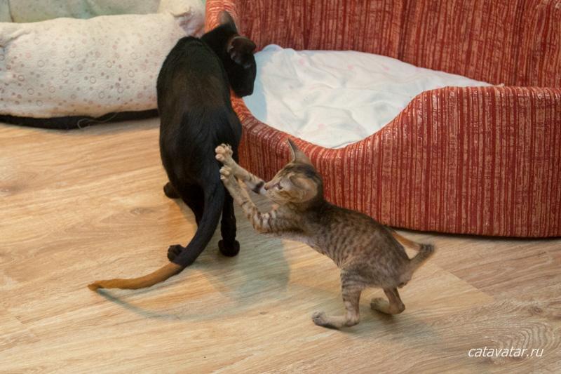 Ориентальные кошки. Питомник ориентальных кошек в Москве. Купить ориентального котёнка. Истории и фотографии о жизни ориентальных кошек.