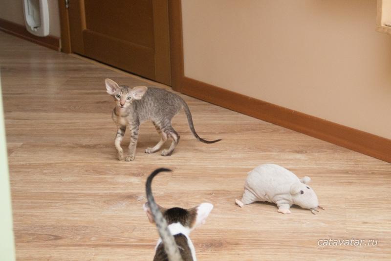 Имя для кошки. Ориентальные кошки. Питомник ориентальных кошек в Москве. Ориентальные котята. Купить ориентального котёнка. Фотографии ориентальных кошек и котят.