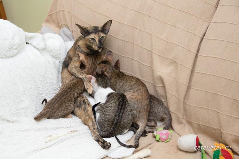 Ориентальные кошки. Питомник ориентальных кошек в Москве. Ориентальные котята. Купить ориентального котёнка. Фотографии ориентальных кошек и котят. Мастерская мебели для кошек. Комплекс для кошек. Когтеточка.