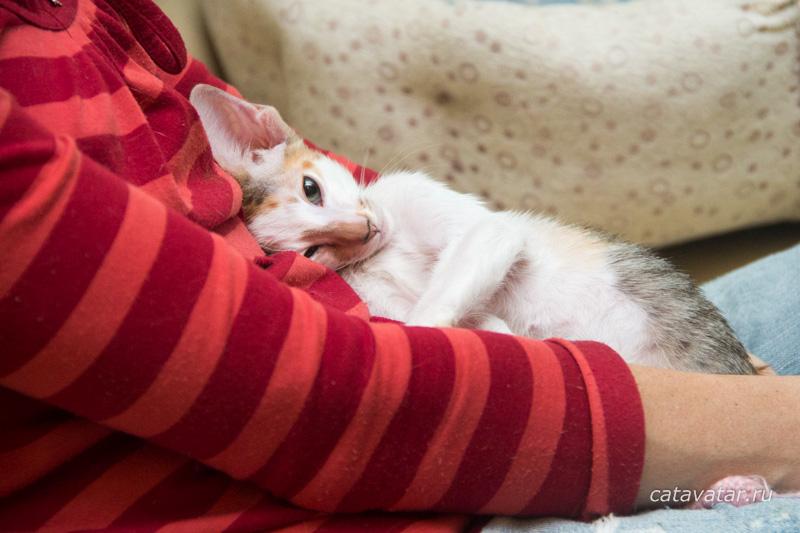 Ориентальные кошки. Питомник ориентальных кошек в Москве. Ориентальные котята. Купить ориентального котёнка. Фотографии ориентальных кошек и котят. Мастерская мебели для кошек. Комплекс для кошек. Когтеточка. Натуральное кормление.