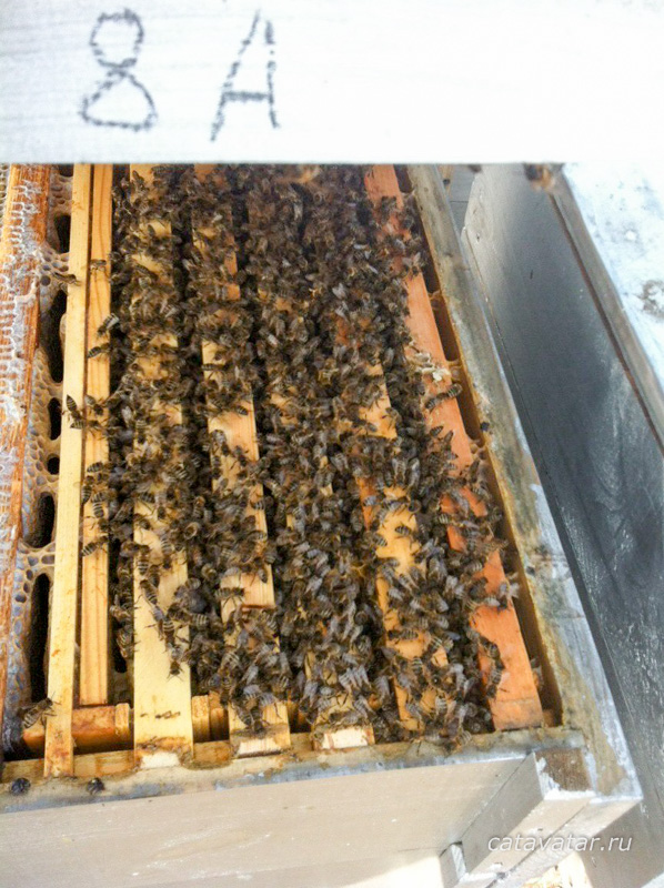 Пчелы перезимовали