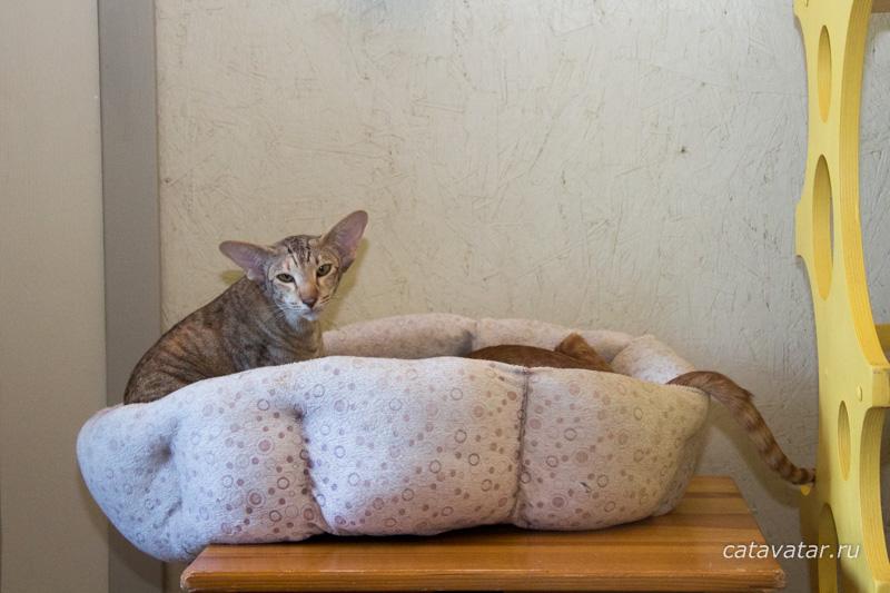 Ориентальные кошки. Ориентальные котята. Питомник ориентальных кошек в Москве. Комплексы для кошек. Когтеточка для кошки.