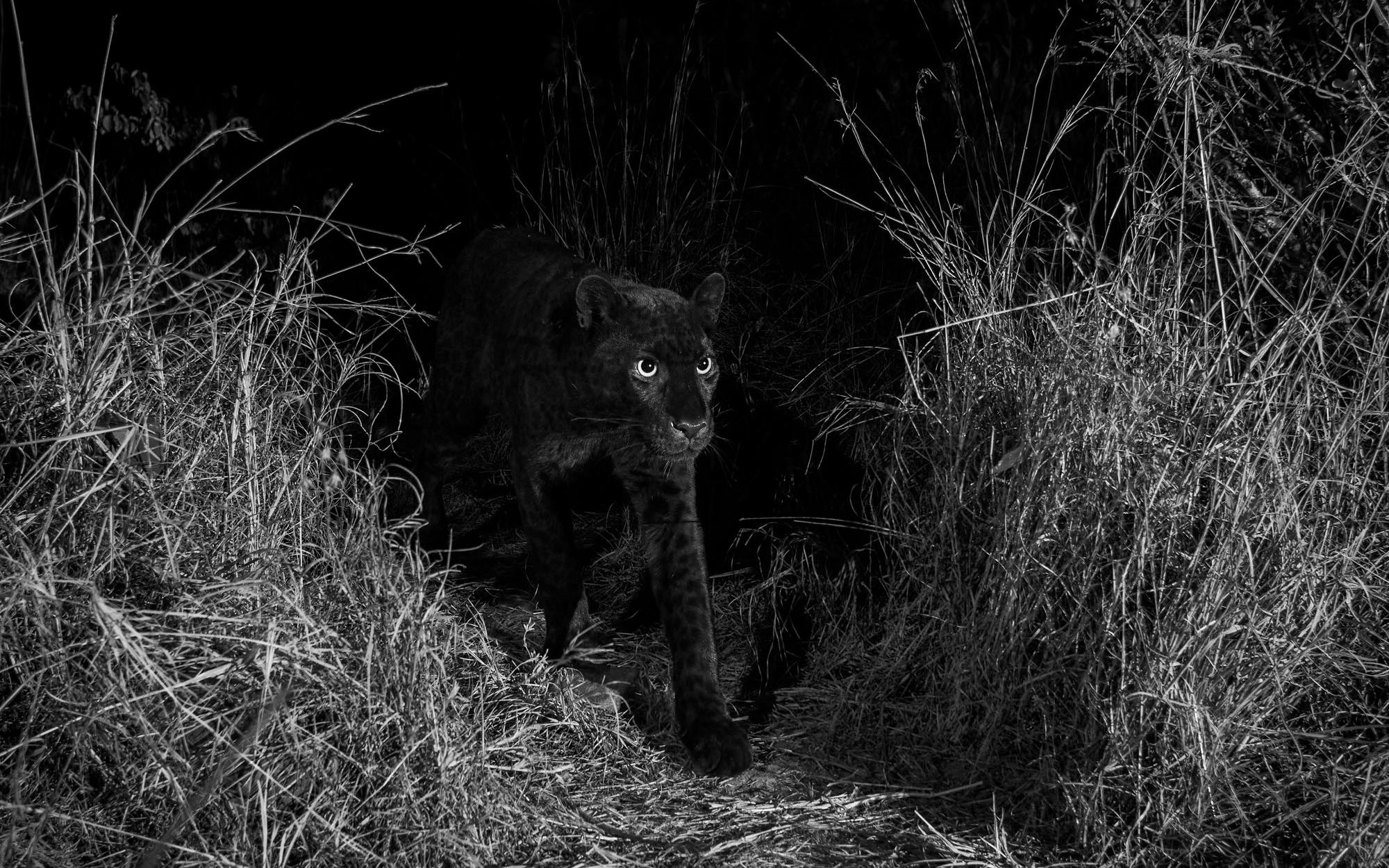 Последний раз этот вид пантеры сфотографировали в 1909 году.
