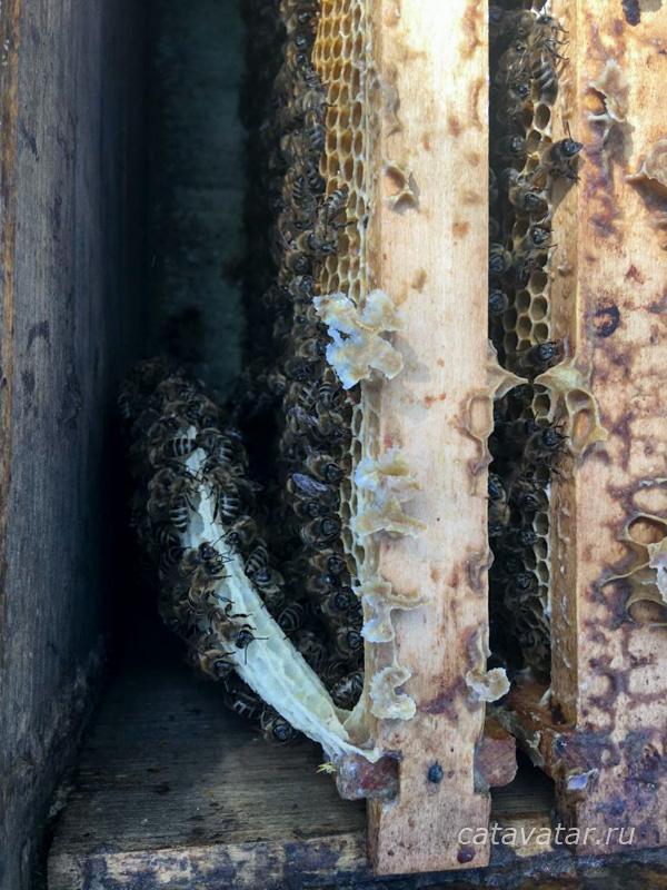 пчёлы, язык в улье, пчелиные личинки, пчёлы строят язык, матке некуда сеять