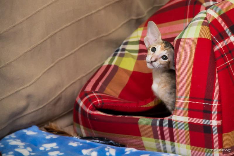 Где купить ориентального котёнка в Москве. Условия покупки ориентального котёнка. Питомник ориентальных кошек в Москве. Кошачий питомник. Ориентальные котята. Ориентальные кошки.