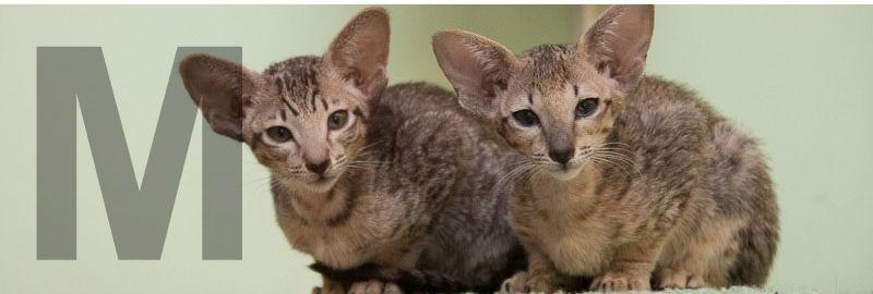 Два ориентальных котёнка питомника Аватар, которые очень похожи внешне, но совсем разные характеры.