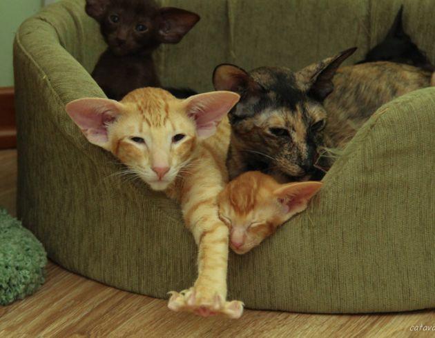 Красная пятнистая ориентальная кошка