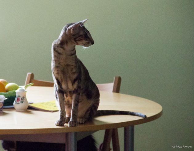 Ориентальная кошка сидит на столе