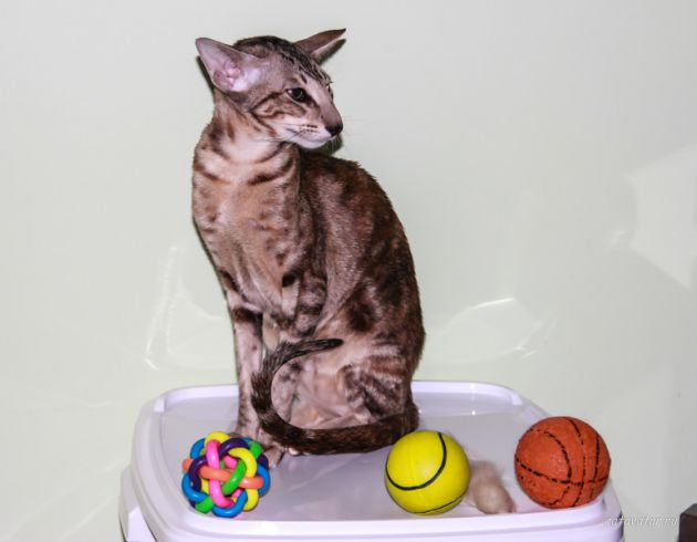 Игрушки наших ориентальных кошек