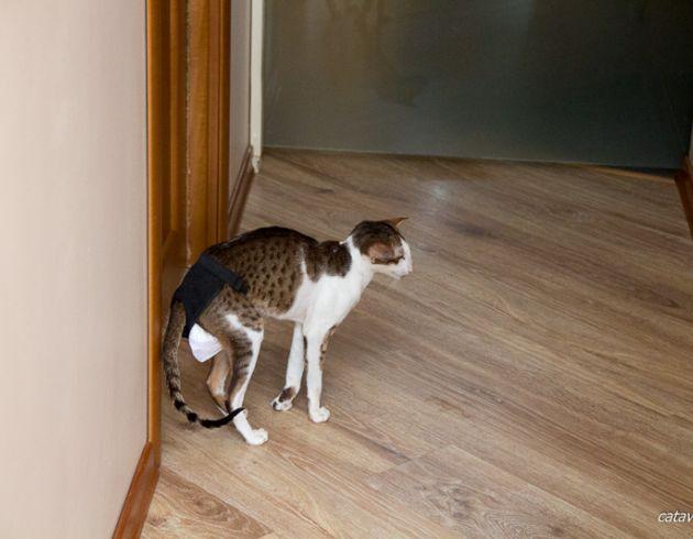 Кот в трусах. Трусы для кота. Ориентальные кошки питомника Аватар. Ориентальные котята. Питомник ориентальных кошек в Москве. Купить ориентального котёнка. Дом для кота. Комплекс для кошки.