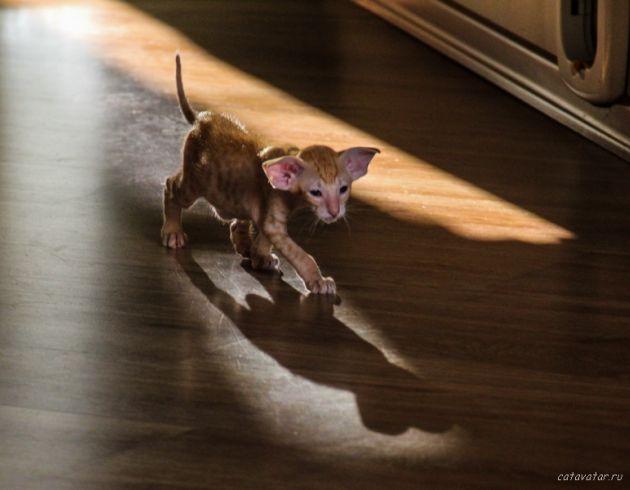 Красный пятнистый ориентальный котёнок