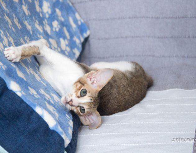 Ориентальный кот, ориентал, ориентальная кошка, питомник ориентальных кошек