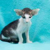 Чёрный пятнистый биколорный ориентальный котёнок. Питомник ориентальных кошек в Москве. Купить ориентального котёнка.Ориентальные кошки. Ориентальный котёнок. Истории о кошках. Фото ориентальных кошек.