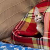 Черная черепаховая пятнистая ориентальная кошка. Ориентальный котёнок. ориентальная кошка. Купить ориентального котёнка. питомник ориентальных кошек в Москве. Домик для кошки. Кошачий комплекс.