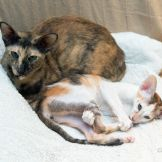 Ориентальный котёнок. Черная пятнистая черепаха биколор. Купить ориентального котёнка. Питомник ориентальных котят в Москве. Комплекс для кошек. Когтеточка.
