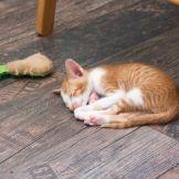 Ориентальный котенок красный пятнистый биколор. На тёплом полу очень приятно лежать :)
