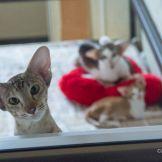 Ориентальный котенок красный пятнистый биколор. Вся кошачья семья в сборе.