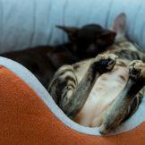 Сладкие пяточки ориентальной кошки