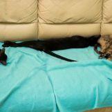 Чёрная ориентальная кошка