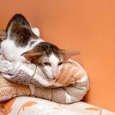 Ориентальные кошки питомника Аватар. Ориентальные котята. Питомник ориентальных кошек в Москве. Купить ориентального котёнка. Дом для кота. Комплекс для кошки.