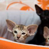 Шоколадный черепаховый пятнистый ориентальный котёнок.Шоколадная черепаховая пятнистая ориентальная кошка.Питомник ориентальных кошек в Москве. Купить ориентального котёнка.Ориентальные кошки. Ориентальный котёнок. Истории о кошках. Фото ориентальных кошек.
