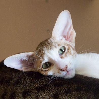 Ориентальная кошка. Шоколадный пятнистый биколор. Ориентальные котята. Купить ориентального котёнка. Комплекс для кошек.