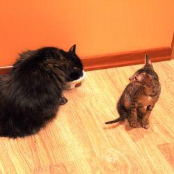 Решили взять второго котика. Питомник ориентальных кошек в Москве. Купить котёнка.Истории и фотографии о жизни кошек.