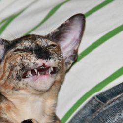 Смеющийся ориентальный котёнок