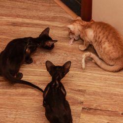 Кошки добыли курицу. Питомник ориентальных кошек в Москве. Купить ориентального котёнка.Ориентальные кошки. Ориентальный котёнок. Истории о кошках. Фото ориентальных кошек.
