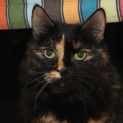 Любимая кошка питомника ориенталов Аватар.