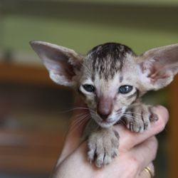 Ориентальные котята. ориентальные кошки. Купить ориентального котёнка. Питомник ориентальных кошек в Москве. Домик для кошки. Комплекс для кошек.