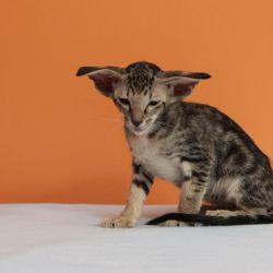 Питомник ориентальных кошек в Москве. Купить ориентального котёнка. Истории о кошках. Фото ориентальных кошек.