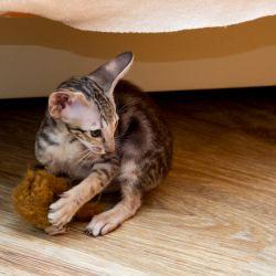 Котята учатся охотиться. Питомник ориентальных кошек в Москве. Купить ориентального котёнка.Ориентальные кошки. Ориентальный котёнок. Истории о кошках. Фото ориентальных кошек.