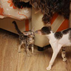 Котята вышли к взрослым кошкам. Питомник ориентальных кошек в Москве. Купить ориентального котёнка. Ориентальные котята. Ориентальные кошки. Фото ориентальных кошек.