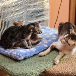 Ориентальный кот защищает сестру. Питомник ориентальных кошек в Москве. Купить ориентального котёнка. Ориентальные котята. Ориентальные кошки.