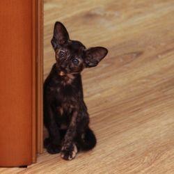 Ориентальный котёнок. Ориентальная кошка. Питомник ориентальных кошек в Москве. Кошачий питомник.