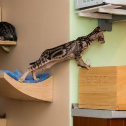 Ориентальные котята лезут на стол. Мраморный ориентальный котёнок. Ориентальные кошки. Питомник ориентальных кошек в Москве. Мебель для кошек. Питомник кошек.