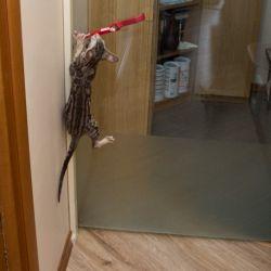 Ориентальный котёнок хулиганит. Ориентальные кашки. Питомник ориентальных кошек в Москве.