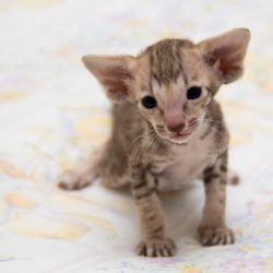 Трогательный ориентальный котёнок. Мраморный ориентальный котёнок. Питомник ориентальных кошек в Москве.
