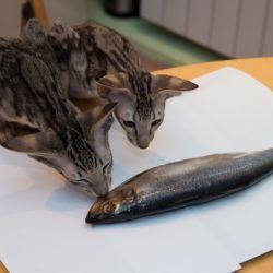 Котята воруют рыбу. Питомник ориентальных кошек в Москве. Купить котёнка.Истории и фотографии о жизни кошек.
