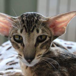 Красивая ориентальная кошка. Питомник ориентальных кошек Аватар.