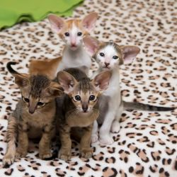 Ориентальные котята. Ориентальные кошки. Питомник ориентальных кошек в Москве. Мебель для кошек.