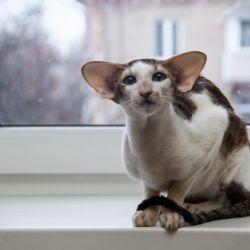 Ориентальный кот сидит на подоконнике. Купить ориентального котёнка. Питомник ориентальных кошек в Москве. Дом для кота.