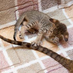 Котёнок играет с маминым хвостом. Питомник ориентальных кошек в Москве. Купить ориентального котёнка.Ориентальные кошки. Ориентальный котёнок. Истории о кошках. Фото ориентальных кошек.